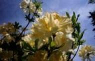 Dubravos arboretume pražydo įspūdingi rododendrai