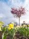 Narcizų laukas