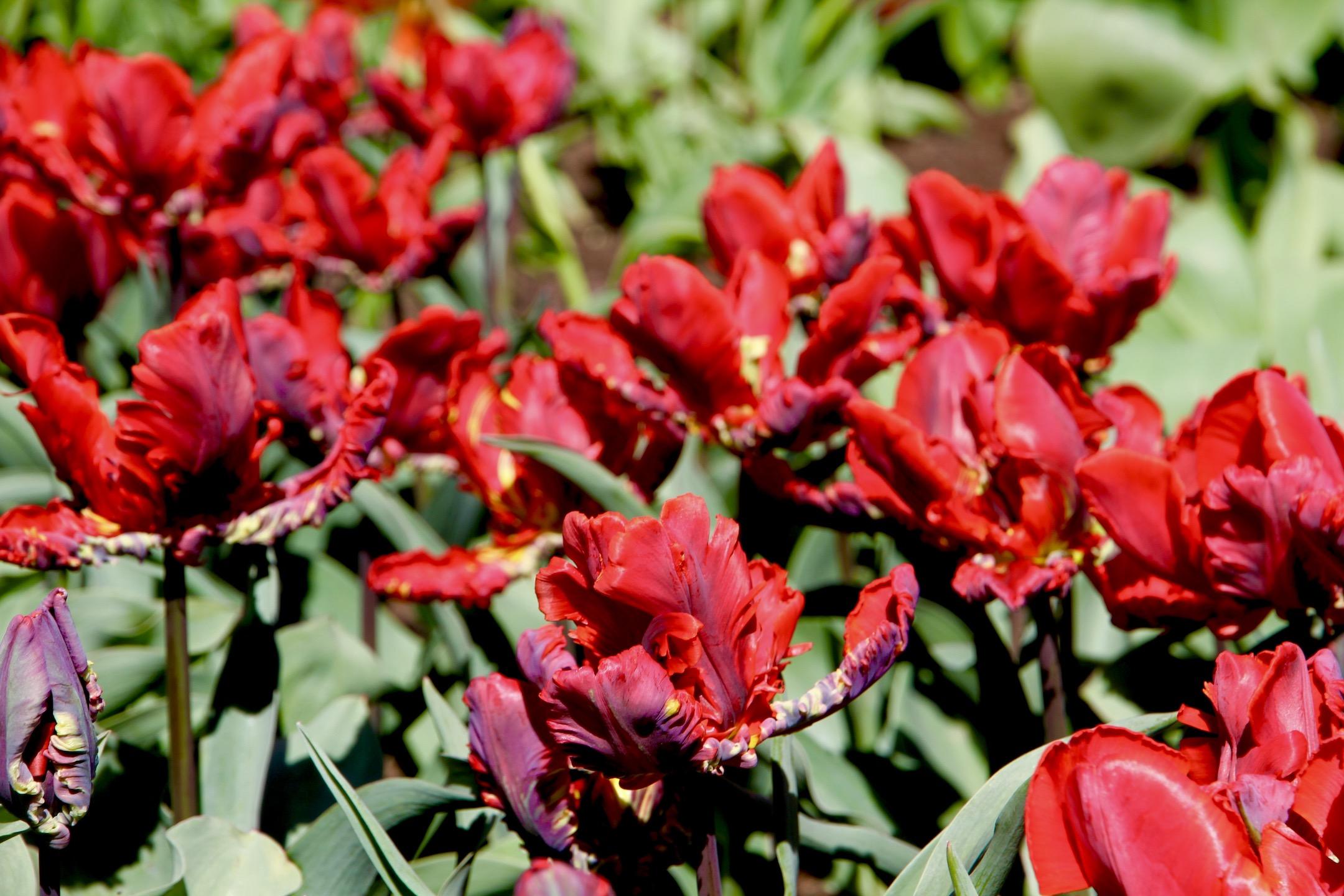 Papūginė tulpė 'Rococo'