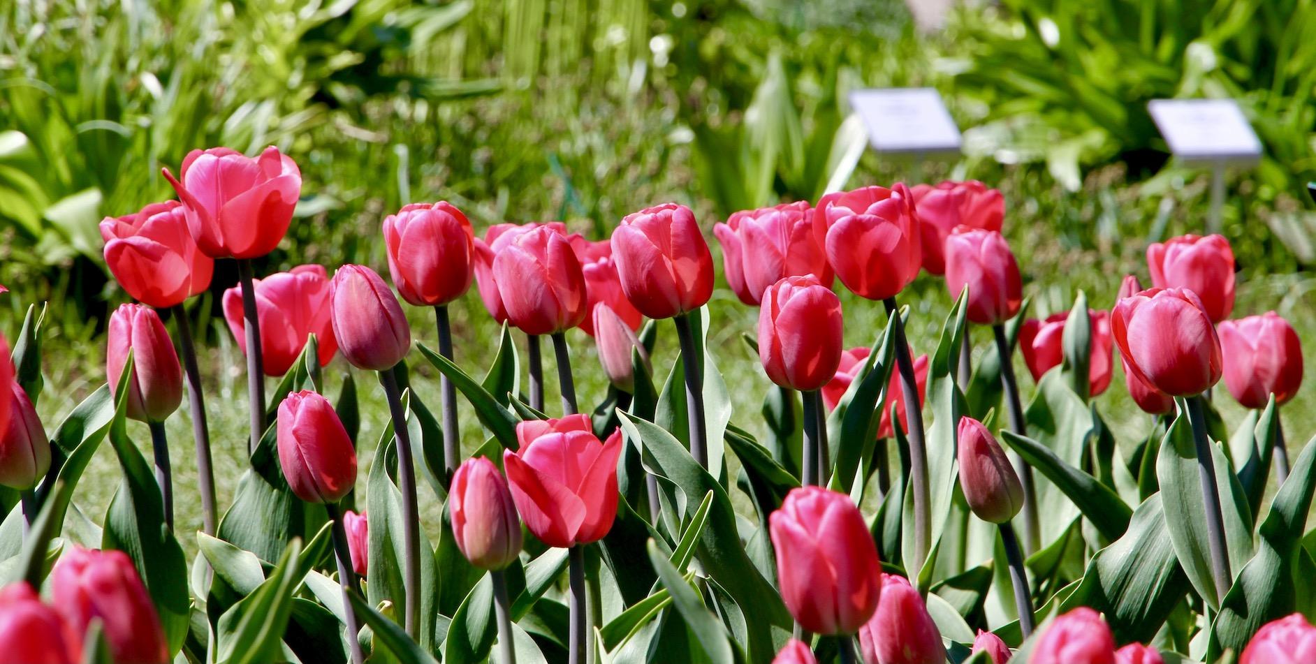 Tulpė 'Alma Adamkienė'