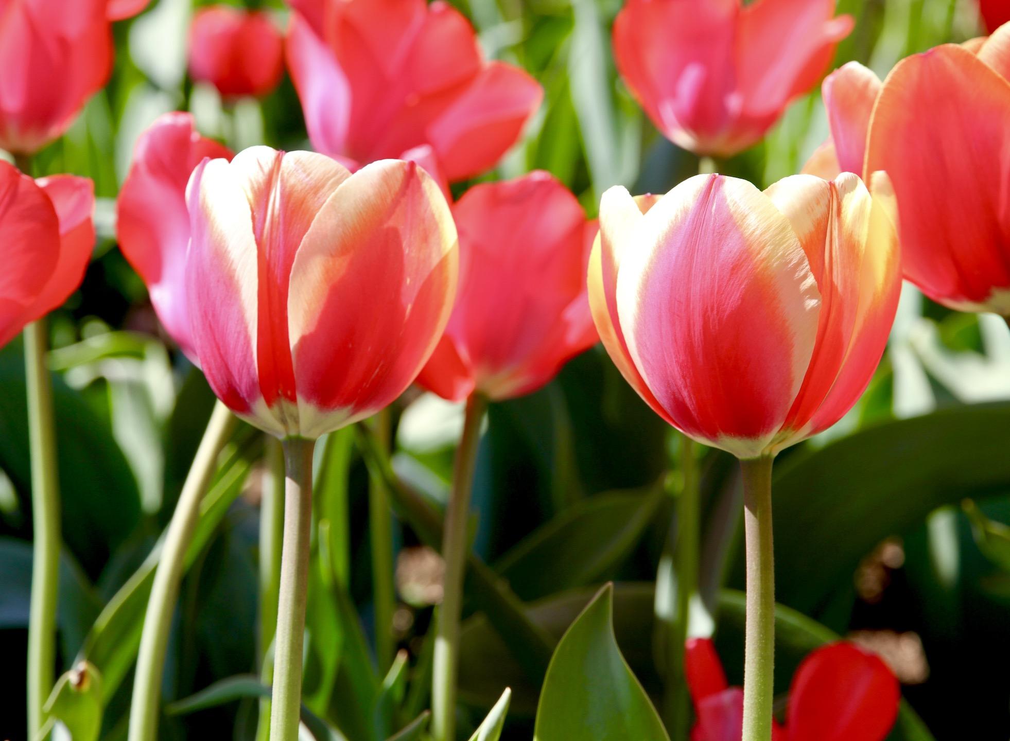 Tulpė 'Genovaitė'